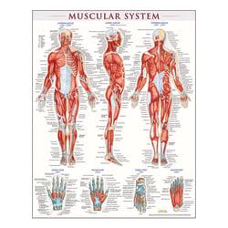 "QuickStudy Human Anatomical Poster, English, Muscular System, 28"" x 22"""