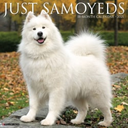 """Willow Creek Press Animals Monthly Wall Calendar, Samoyeds, 12"""" x 12"""", January To December 2021"""