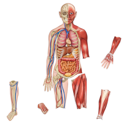 Learning Resources Double-Sided Magnetic Human Body, 3', Multicolor, Pre-K To Grade 4