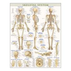 QuickStudy Human Anatomical Poster English Skeletal